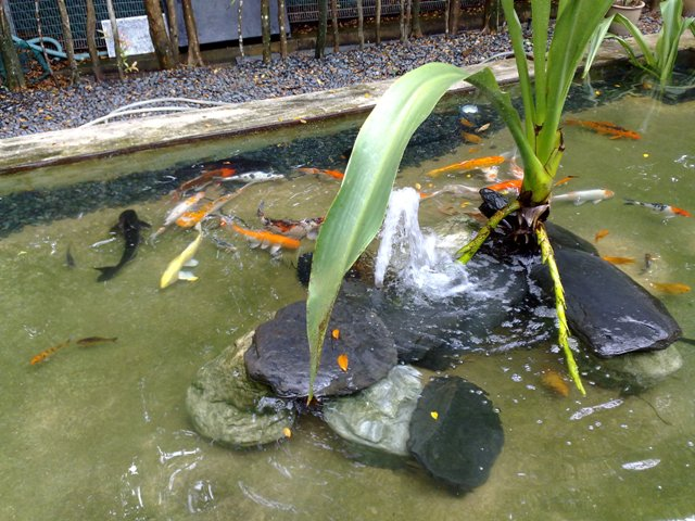 What You Need To Know About Regular Koi Pond Maintenance Bringing The Epic Home Improvements